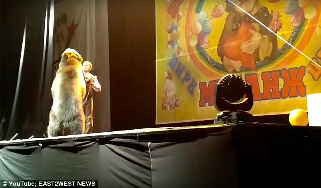 Con gấu bất ngờ quay ra tấn công người huấn luyện ngay trên sân khấu, sau khi bị phạt một roi, nó quay lại biểu diễn ngoan ngoãn tới hết tiết mục.