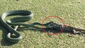 Rùng mình xem rắn bay kịch độc nuốt chửng cự đà to lớn