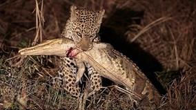 Khoảnh khắc báo châu Phi đoạt mạng cá sấu dài 2 mét