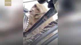Lạ đời khỉ trộm xăng từ xe máy để uống