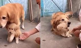 Chó mẹ nhất định không cho chủ động vào con