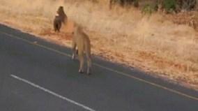 Sư tử vồ lợn từ phía sau, cắn xé moi ruột giữa đường