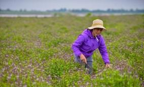 Check in cánh đồng rau húng quế đẹp như hoa lavender ở ngoại thành Hà Nội
