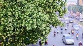 Dân đề xuất chặt bớt cây hoa sữa, công ty cây xanh Hà Nội nói gì?