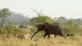 """Cả đàn sư tử manh động bị voi khổng lồ """"lùa"""" chạy toán loạn"""