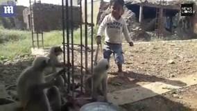Cậu bé sống với bầy khỉ hoang dã như anh em một nhà