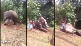 Đánh gãy chân voi để thuần hóa phục vụ khách du lịch