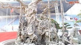 Cây sanh dáng 'Long' trăm tuổi trả giá triệu đô chưa bán