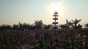 Mục sở thị nông dân chiết tinh dầu húng quế, thu nửa tỷ đồng