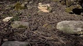 Rùng rợn động rắn lớn nhất thế giới, nhung nhúc hàng chục nghìn con