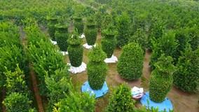 Uốn cây quýt thành lọ lục bình, nông dân thu lãi 'khủng'