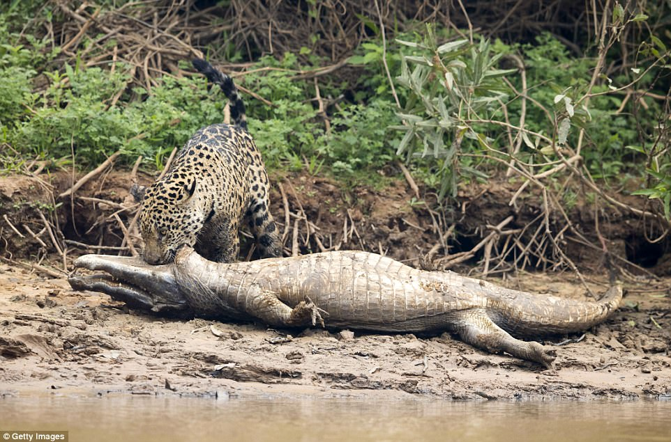 After the kill: The jaguar killed the caiman before dragging its prize in its mouth along the muddy banks of the river