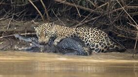 Báo đốm cắn vỡ sọ cá sấu trên sông