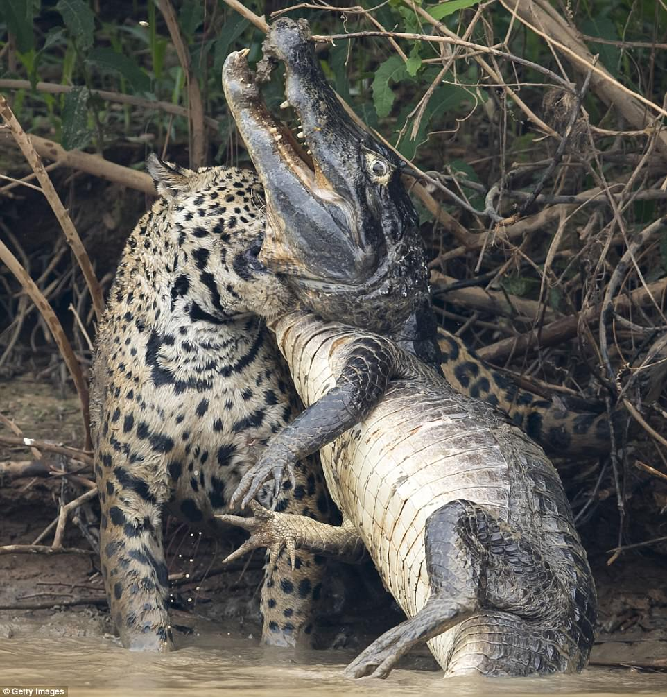 Panic: The powerful cat sunk its teeth into the caiman's throat as the reptile thrashed in a desperate attempt to break free