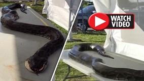 Bắt trăn quái vật dài 5,2m có thể ăn thịt bất kỳ ai