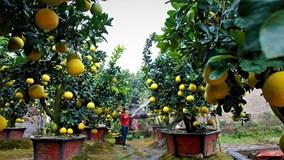 'Đột nhập' vườn bưởi tiền tỷ của nông dân Hưng Yên