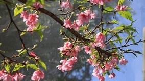 Chiêm ngưỡng 19 loại hoa anh đào nở rộ đẹp ngỡ ngàng ở Điện Biên
