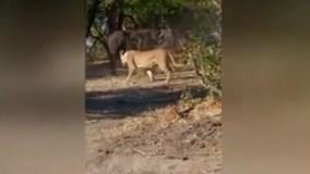 Trâu một mình đánh nhau với cả đàn sư tử và kết thúc bất ngờ
