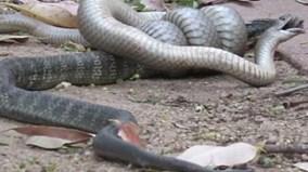 Rắn hổ kịch độc bị rắn nâu khuất phục, nuốt chửng