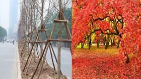 Người dân nói gì về việc trồng cây phong lá đỏ ở Hà Nội