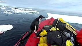 Chim cánh cụt nhảy bổ lên thuyền, 'chào' đoàn thám hiểm ở Nam Cực