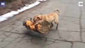 Tròn mắt xem chú chó tha khúc gỗ cực nặng làm đồ chơi
