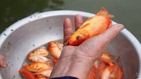 Người nuôi cá chép đỏ bật mí cách chọn cá đẹp cúng ông Công ông Táo