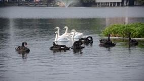 Vì sao đàn thiên nga ở Hồ Gươm bị bắt lại chỉ sau một đêm?