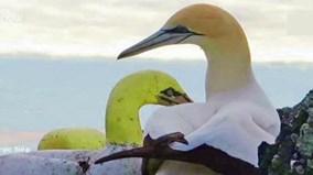 Chú chim ó biển cô đơn nhất thế giới qua đời