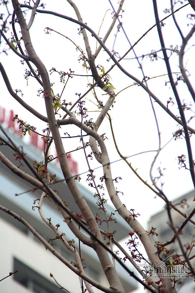 phong lá đỏ,cây phong lá đỏ,Hà Nội,Tết Nguyên đán