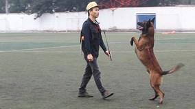 Thú chơi chó Malinois Bỉ giá cả trăm triệu đồng của người Hà Nội