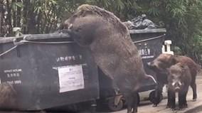 Lợn rừng 150kg đứng thẳng 2 chân lục thức ăn ở Hongkong
