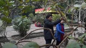 Cây ổi gần 100 tuổi 'gãi là cười' ở di tích Lam Kinh
