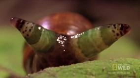 Loài ký sinh trùng đáng sợ biến ốc sên thành Zombie