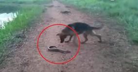 Chó dại dột cắn lươn điện và cái kết kinh hoàng