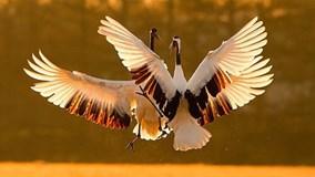 Ngắm con sếu tuyệt đẹp có nguy cơ tuyệt chủng của Nhật ngay tại Hà Nội