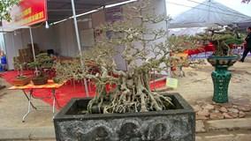 Bộ ba cây sanh 'hóa thạch' 30 tỷ xôn xao hội chợ Hà Nội