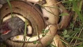 Trăn khổng lồ rình rập, siết chết lợn rừng trong giây lát