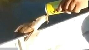 Cá ngoi lên mạn thuyền, uống bia của cần thủ