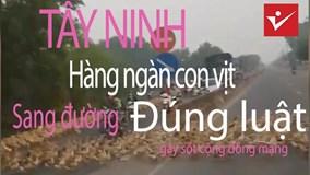 Hàng ngàn con vịt sang đường đúng vạch đi bộ gây sốt cộng đồng mạng