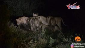 7 sư tử áp đảo bao vây nhím gai nhưng bất lực