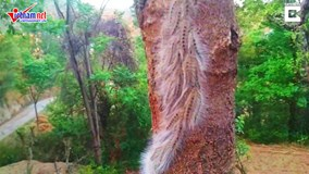 Cảnh tượng khủng khiếp: 'binh đoàn' sâu nghìn con 'hành quân' trên cây