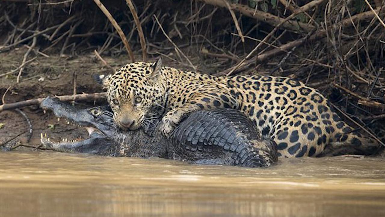 Sát thủ khét tiếng xơi tái cá sấu trong nháy mắt