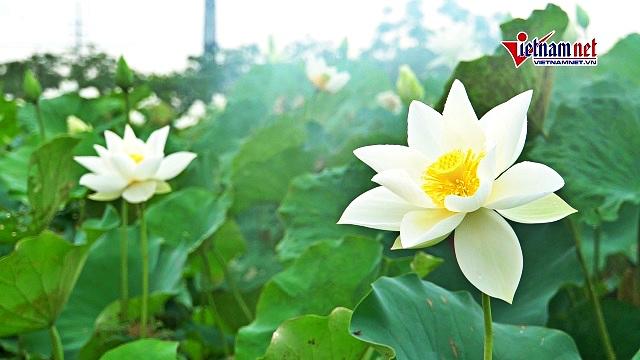 Đầm sen trắng hiếm có ở Hà Nội, khách kéo đến chụp...