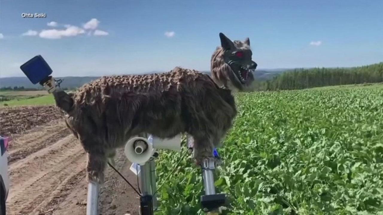 Xem sói máy giúp nông dân Nhật Bản xua đuổi gấu phá...
