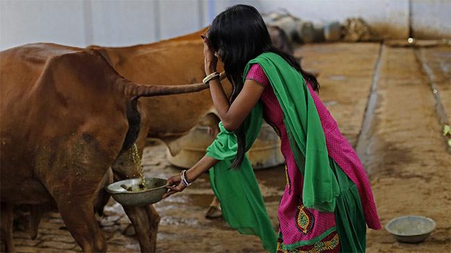 Thà dùng phân bò để sản xuất, dân Ấn Độ quyết tẩy chay...