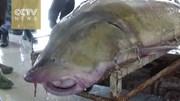 'Quái cá' khổng lồ 100 tuổi mắc lưới ngư dân