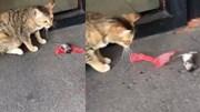 """Chuột giả chết, """"lăn theo gió"""" trước mặt mèo"""