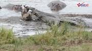 Bầy hà mã giải cứu linh dương đầu bò thoát khỏi hàm cá sấu