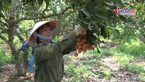 Nông dân Bắc Giang hái vải sớm thu 10 triệu một ngày